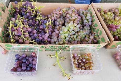 grapes_larriland-farm.jpg